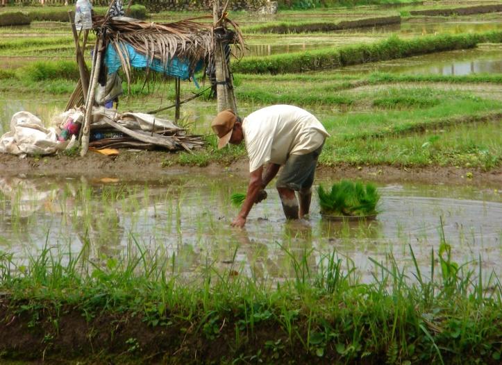 Manual work in rice fields, Bali