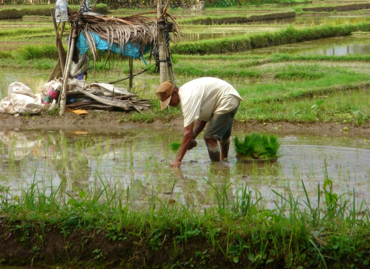 Manual work in rice fields, Bali