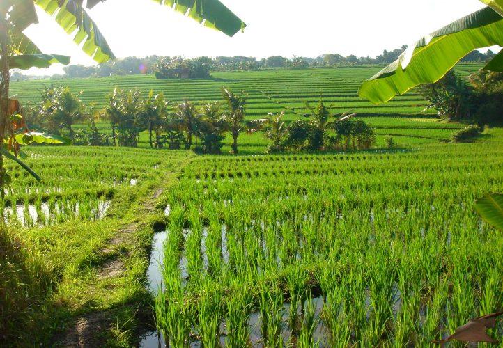 Rice fields in Ubud, Bali
