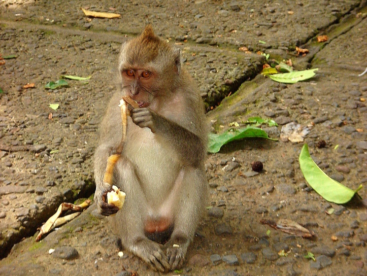 Macaque monkey in Monkey Forest, Ubud.