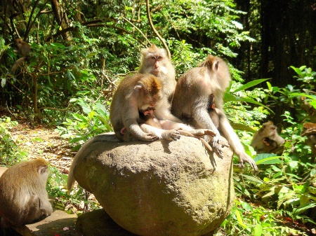 Macaque monkeys in Sacred Forest, Ubud